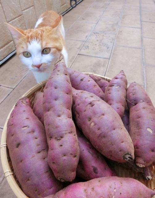 猫とサツマイモ.jpg